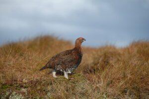 Dartmoor Nature Reserve red grouse birdwatching Devon