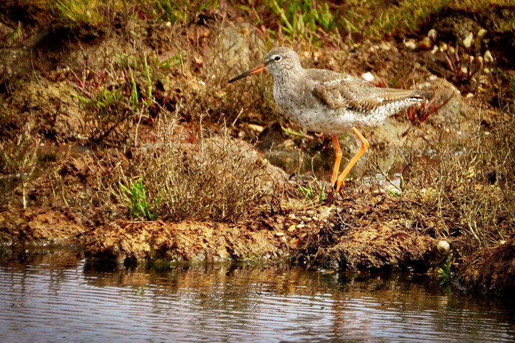 Exminster Marshes lapwing birdwatching devon