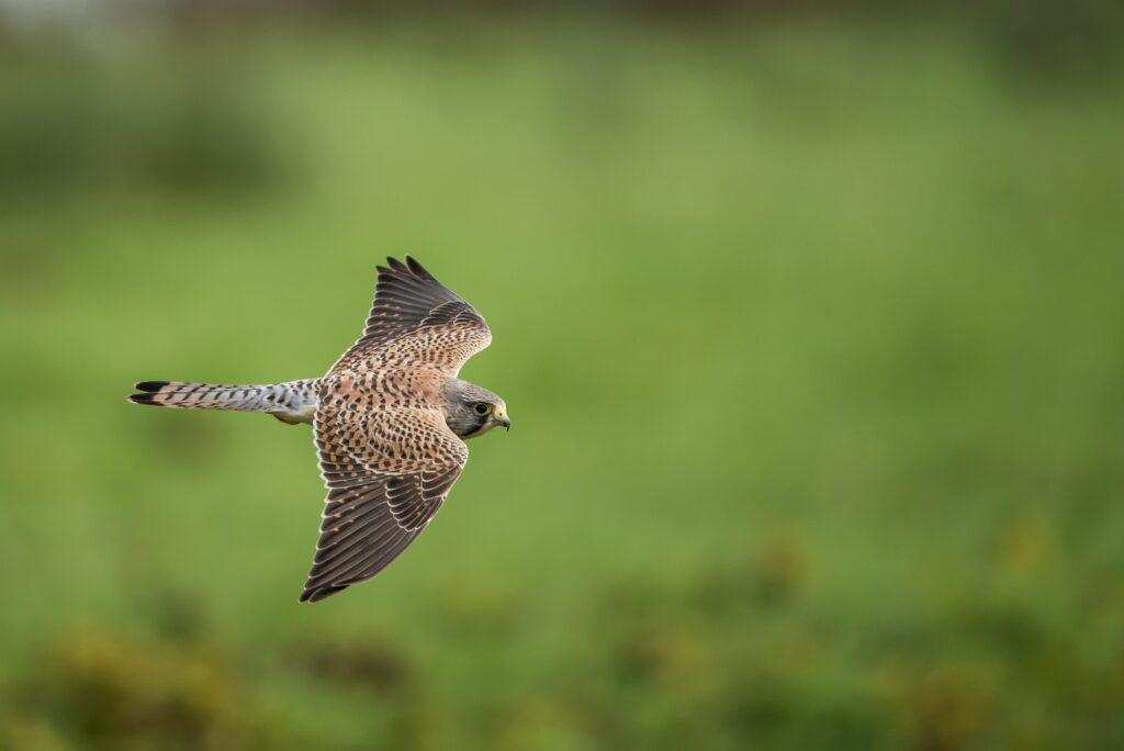 Devon birdwatching Haldon Forest kestrel