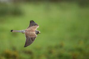 Devon birdwatching kestrel