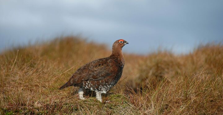 PhotoDartmoor Nature Reserve red grouse birdwatching Devon