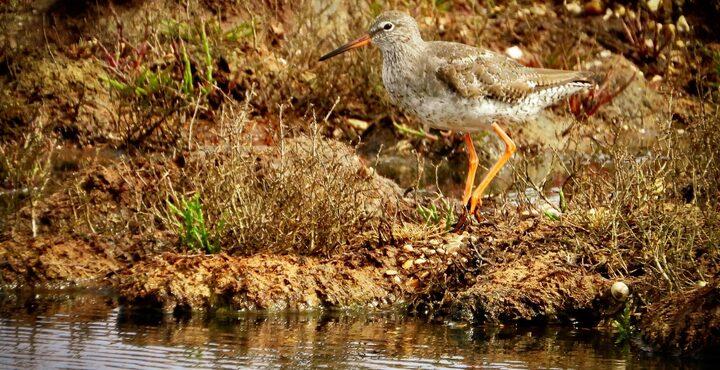 PhotoExminster Marshes lapwing birdwatching devon