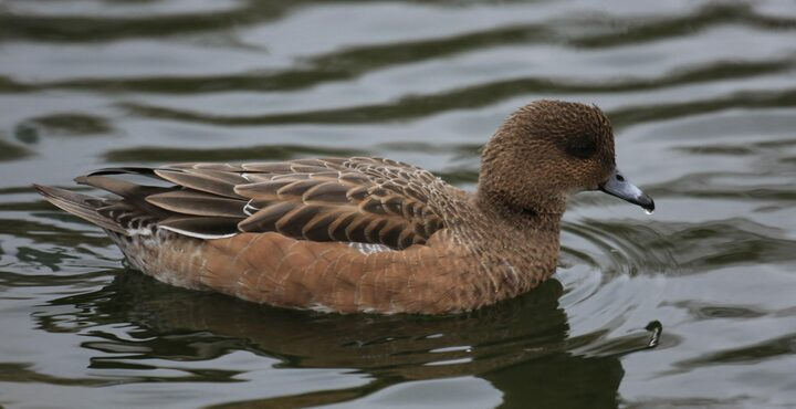 PhotoAxe Estuary wigeon devon birdwatching