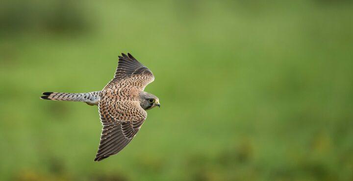 PhotoDevon birdwatching kestrel